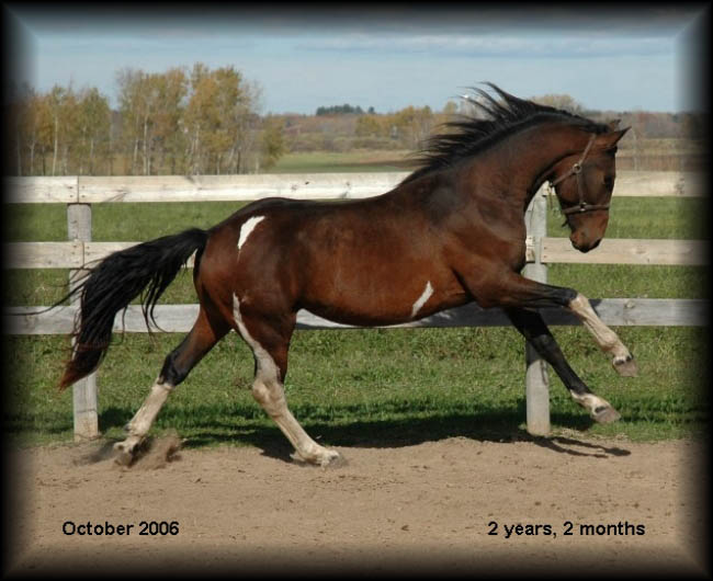 Pinto Friesian Horse Black Bay Friesian Pinto