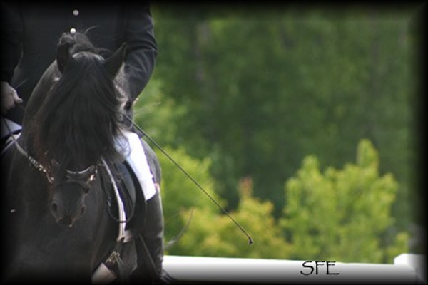 Friesian Horse Stallion. Legend Woods Friesian Sport