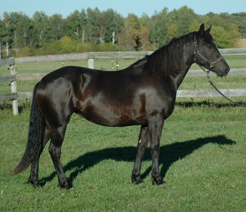 gallery for gt solid black appaloosa